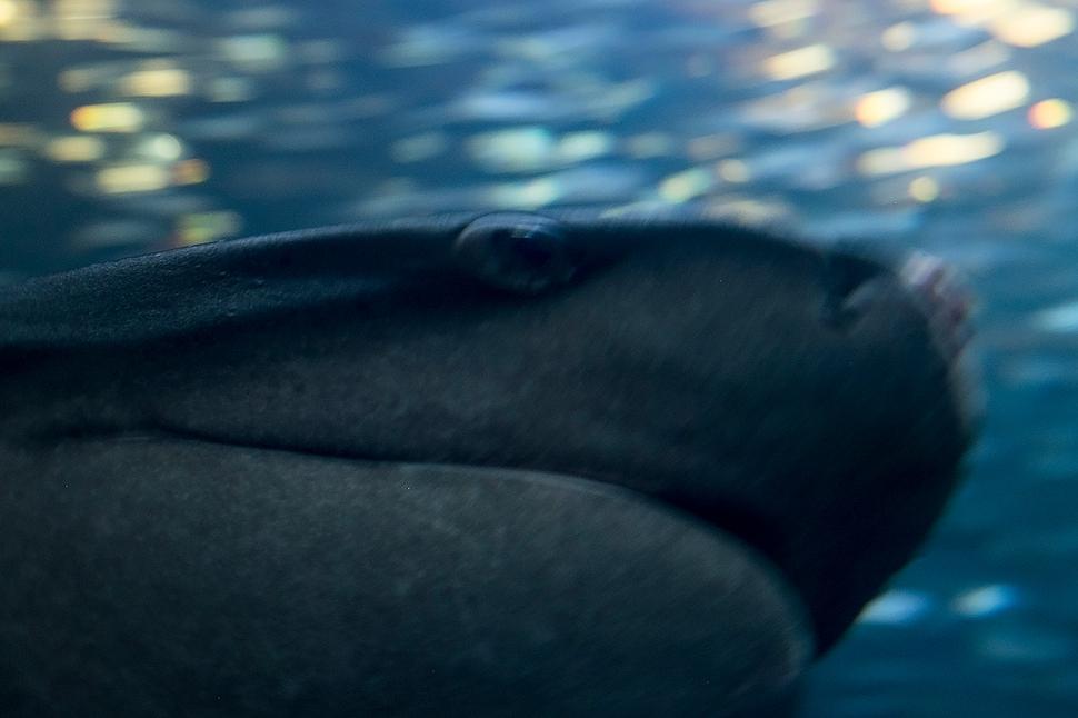 shark_DSCF0697